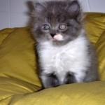 gato-persa-gris-con-blanco