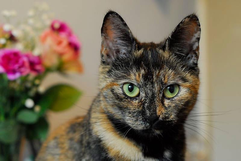 gata mirada bicolor