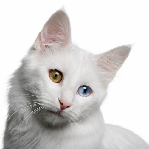 angora turco de color blanca
