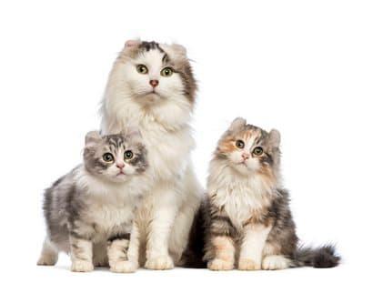 Gatos american curl
