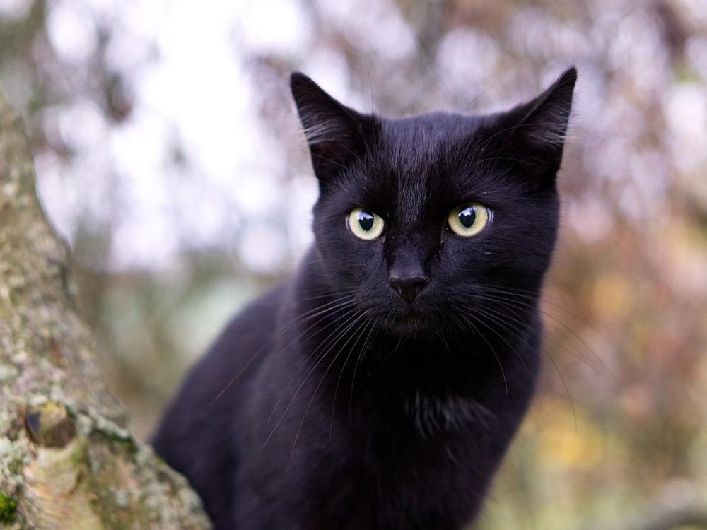 gato negro arbol