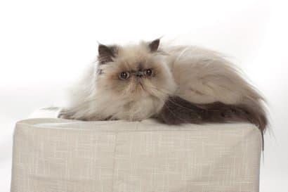 Gato himalayo tumbado en el cojín