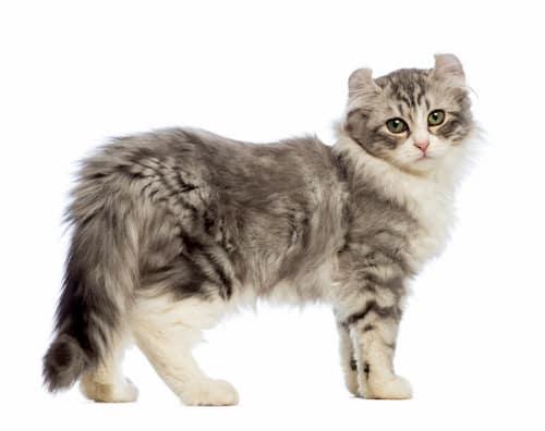 American curl gato gris
