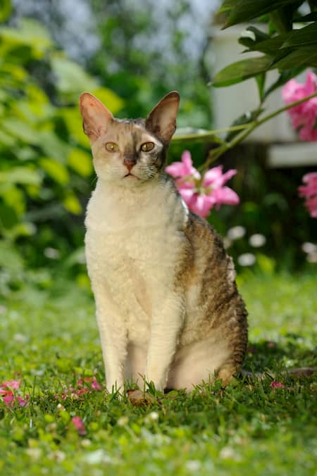 Gata cornish rex