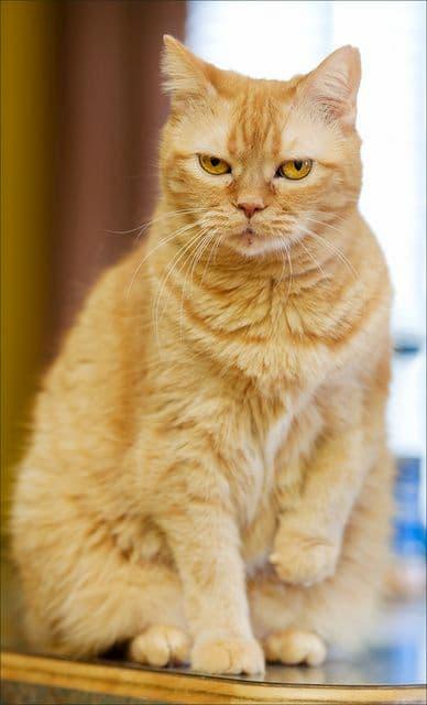 Gato amarillo adulto con 2 años y medio