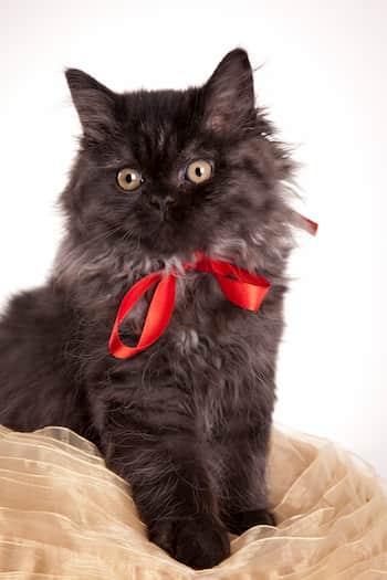Gata negra british long hair