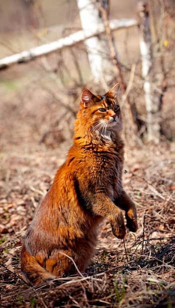 gato raza somalí