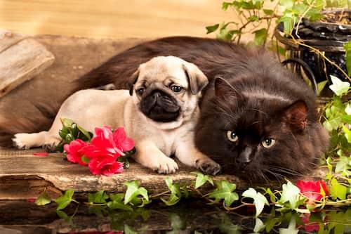 gata y perro Pug