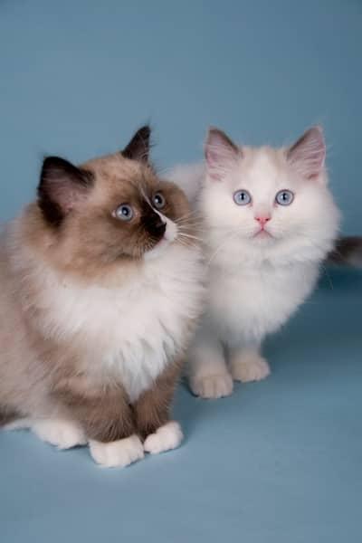 gatos raza ragdoll