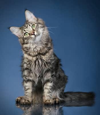 Gato de la raza maine coon