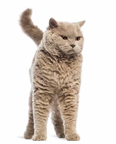 Gato canela con 2 años