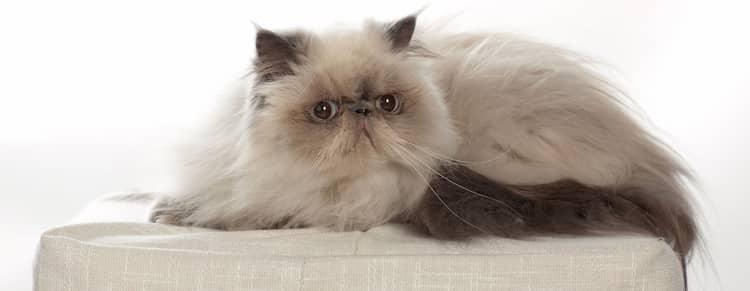 nombres originales para gatos - himalayo