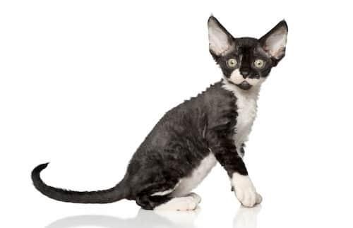 Nombres para gatas negras - Devon rex