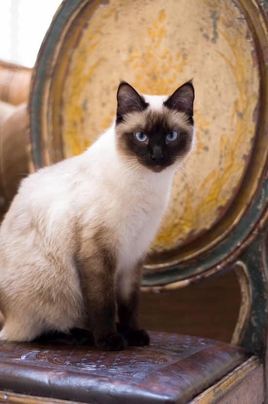 Preciosa gata adulta blanca , canela y negra