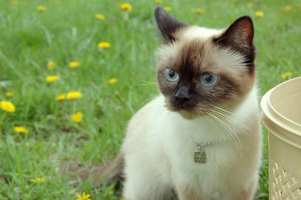 Gato siamés macho