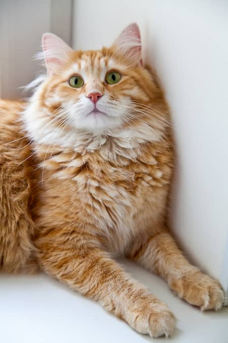 Gato siberiano naranja y blanco
