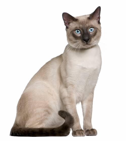 Nombres para gatos siameses