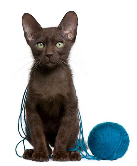 gato chocolate havana brown