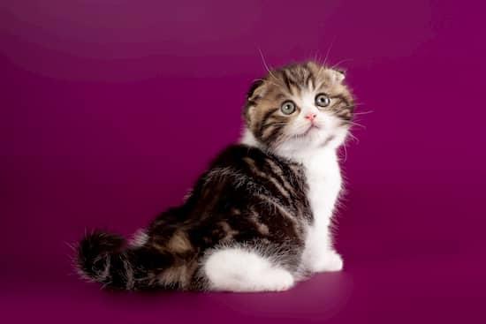 gato coreano blanco y negro