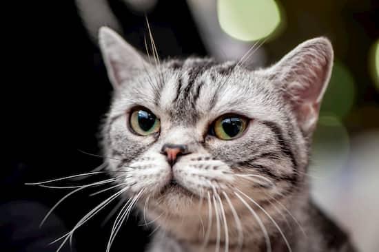 gata pequeña hembra gris