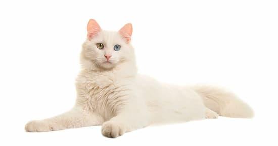 gata blanca angora