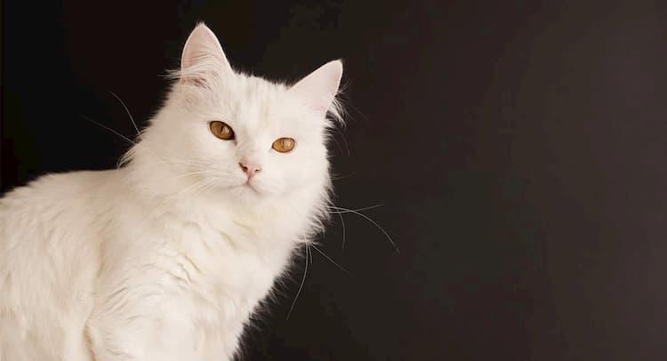 nombres para gatos angora