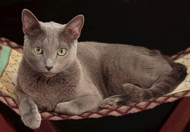 gata gris de ojos verdes