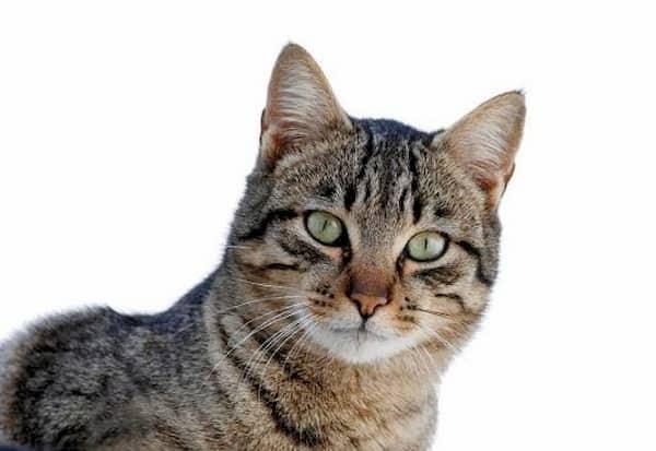 gato macho gris