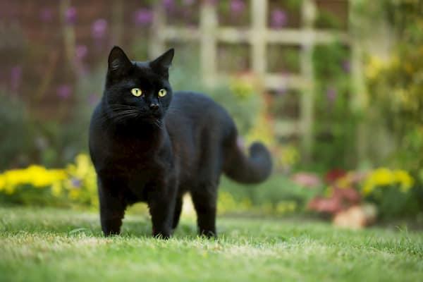 gato negro en la hierba