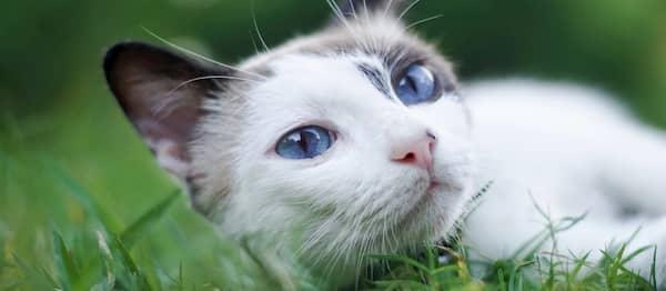 gato tumbado en la hierba