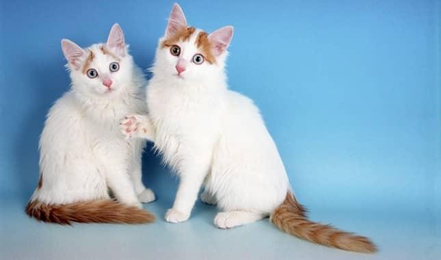 raza de gatos turca