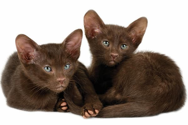 dos gatos color marrón cachorros