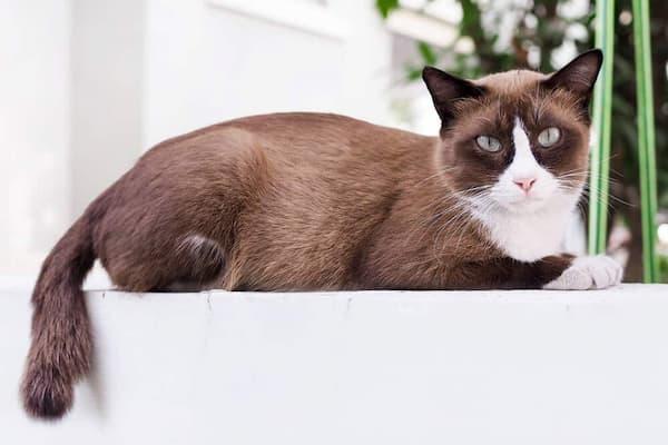 gato color café y blanco