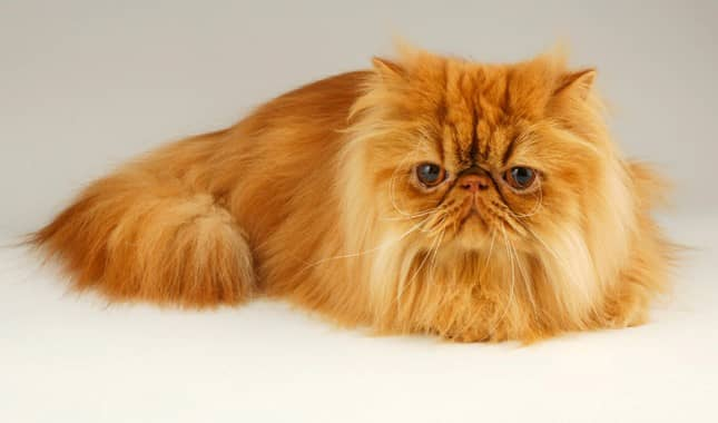 gato color naranja