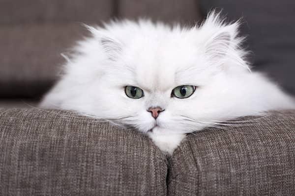 nombres para gatos persas
