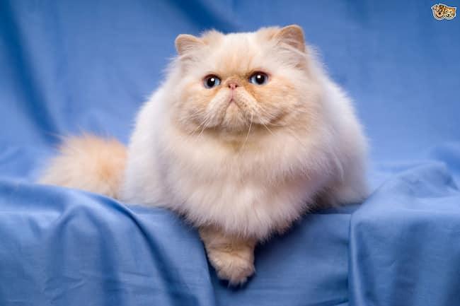 precioso gato persa