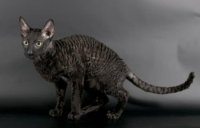 cornish rex negro