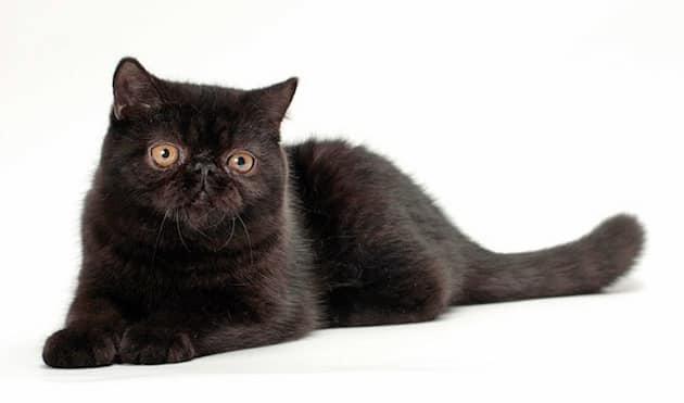 gato exótico negro