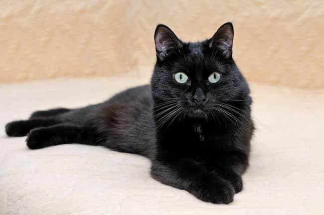 gato negro raza americano de pelo corto