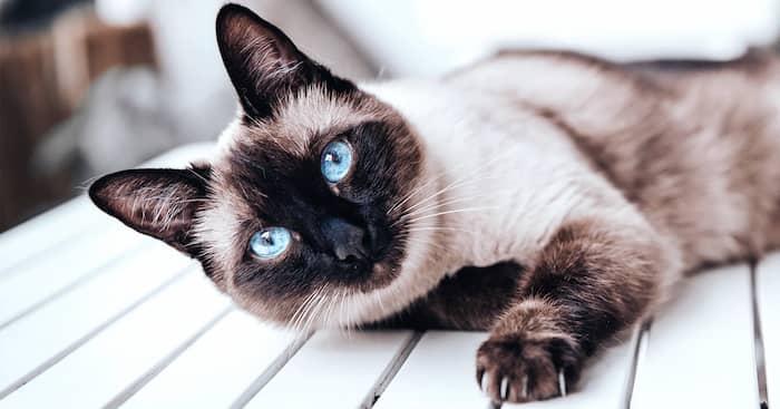 gato raza siamés con ojos azules