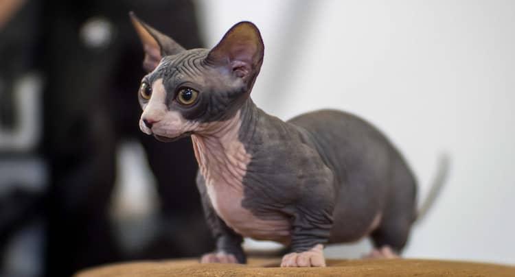 bambino sin pelo gris y rosado