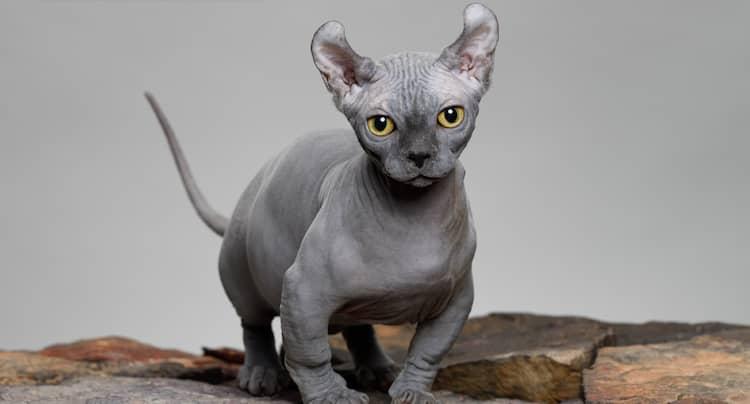 gato dwelf gris
