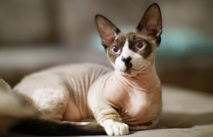 gato sin pelo razas