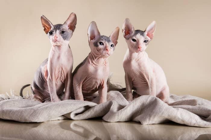 tres gatos donksoy
